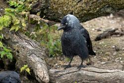 A Carrion Crow resting on a felled long at Slimbridge bird park.