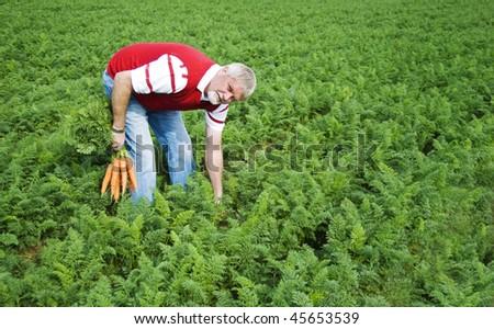a Carrot farmer picking carrots in a carrot field