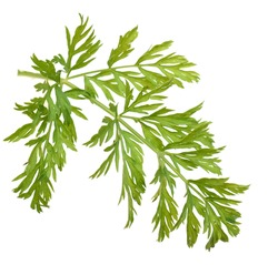 A carrot leaf isolated