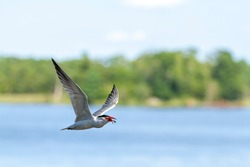 A caspian tern is flying over the Chesapeake bay  around Eastern Neck Island of Maryland, The bird is carrying a fish in its mouth.