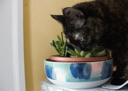 A cat buries her face in an assortment of succulent plants. House plants can pose risks to domestic animals.