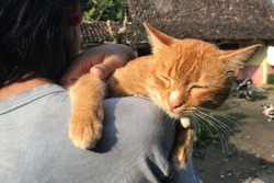 A cat carried on the shoulder. Felis silvestris catus (domestic cat).