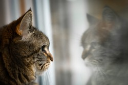 a Cat is sitting in front of a window and looks at her reflection in the mirror, blur reflection and cat face close up