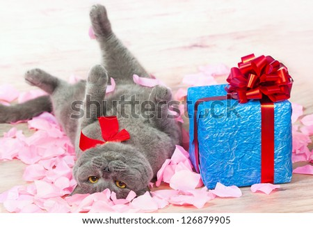 Stock Photo A cat lying on the rose petals near a blue gift with a red ribbon with big bow