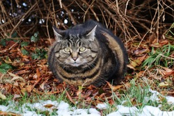 A cat on autumn leaves looks angry and with ears laid back