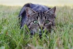 A cat on the hunt in the grass. A cat just before the attack