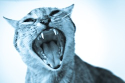 A cat opens its mouth and expresses anger and frustration. Angry animal face. Furious attacking cat. Enrage domestic cat. Animal bite.