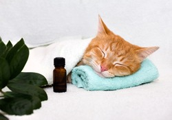 A cat sleeping on a massage table while taking spa treatments, massage oil, relax