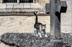 A cat wanders in an old cemetery, he walks on a tomb next to a stone cross.