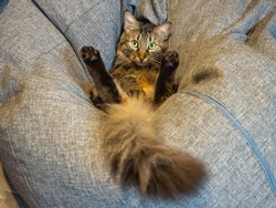 A cat with a fluffy tail sits in an unusual position with its hind legs raised on a gray very soft pillow