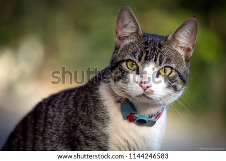 A cat with a leash looking at the camera. Tabby. American wirehair cat. #1144246583