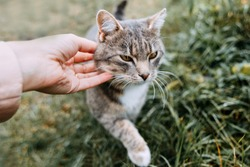 A cat with a white neck with yellow eyes among the grass. The hand is stroking the cat. Satisfied cat.