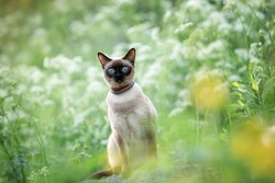 A cat with big blue eyes sits in the grass and flowers in summer