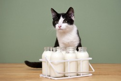 A cat with milk bottles