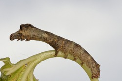 A caterpillar of Bombyx mandarina, the wild silk moth