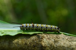 A caterpillar. The caterpillar is the larval stage of the lepidoptera order (an insect order of butterflies and moths). Caterpillars eat the leaves to survive.
