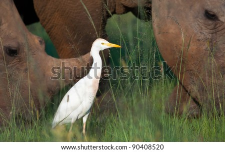 A cattle Egret seen between 2 rhinos in the background