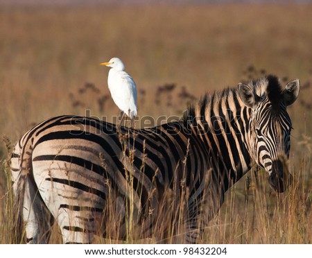 A cattle Egret sitting on the back of a Zebra looking in opposite directions