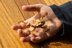 A caucasian boy holding an Australian spiny leaf stick insect