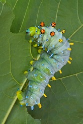 A cecropia caterpillar is eating a maple leaf in summer.