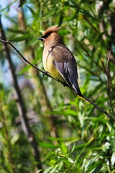 A Cedar Waxwing bird sitting on a branch.