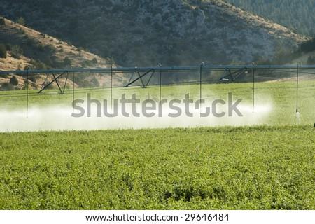 a center pivot irrigation system working in an alfalfa field