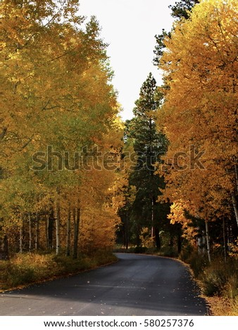 A Central Oregon country back road through beautiful aspen trees that have leaves of gold from the fall.