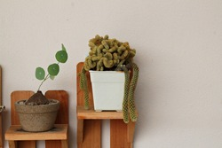 a ceramic pot of round leave and a white pot of cactus by the wall