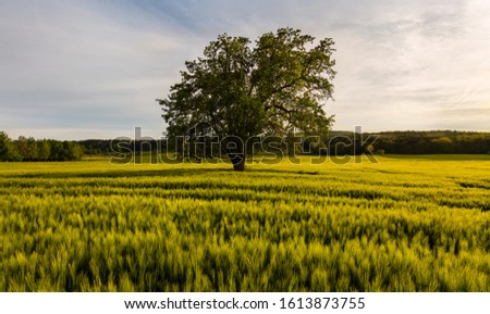 Photo of  A cereal field in the evening just before sunset in the middle of Germany near Zierenberg. There is a single tree in the field. The warm evening light illuminates the scenery. A romantic mood.