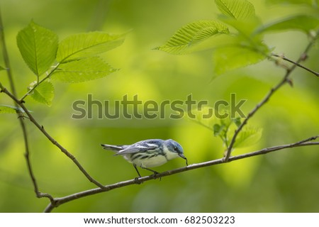 A Cerulean Warbler eats a small inch worm while perched on a branch surrounded by bright green leaves. #682503223