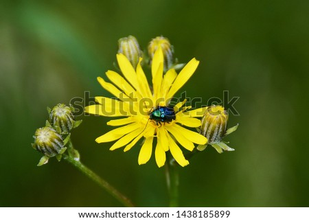 A Cetonia Aurata beetle on a yellow flower
