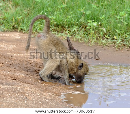 A chacma baboon drinking from a pool in South Africa.