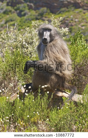A Chacma baboon (papio ursinius) sitting on a rock surrounded by Cape fynbos - stock photo