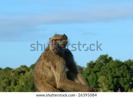 A chacma baboon (Papio ursinus)  in South Africa. #26395084