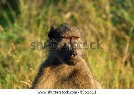 A chacma baboon showing his profile early in the morning in South Africa.