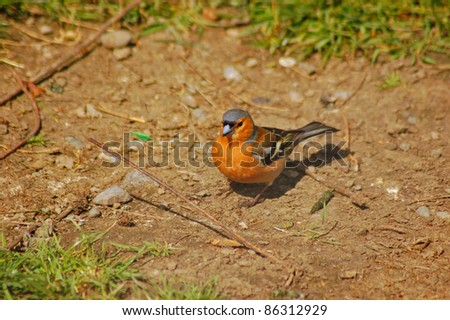 a chaffich ,(Fringilla Coelebs) grounded