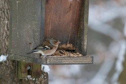 A chaffinch sits at the feeder in winter
