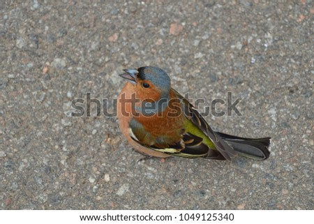 A chaffinch songs his song #1049125340