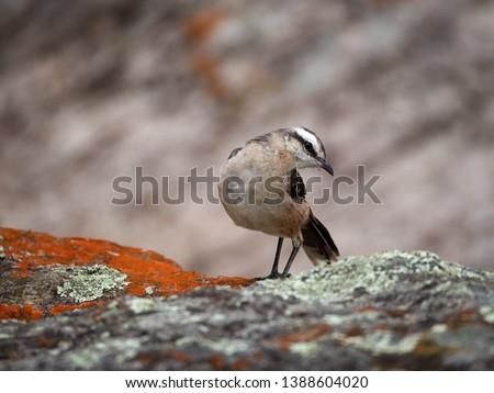 A Chalk-browed mockingbird (Mimus saturninus) in Cuesta Blanca, Cordoba, Argentina.