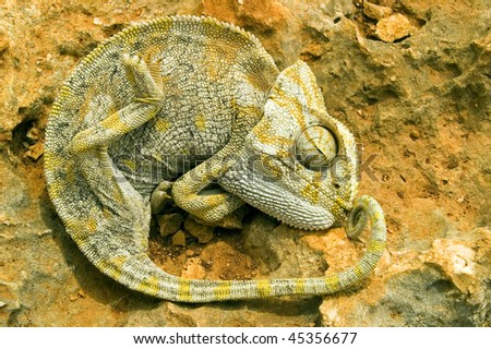 A Chameleon lies on a stone.