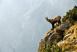 A chamois in the High Tatras National Park - Slovakia