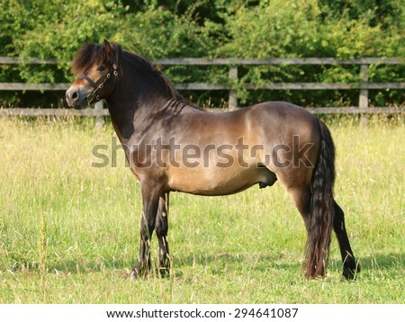 A champions Exmoor pony stallion stands in a summer paddock.