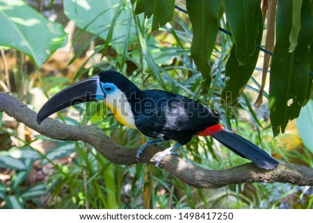 A Channel-billed toucan stands on the tree Like other toucans, the channel-billed is brightly marked and has a huge bill. Found in Trinidad and in tropical South America
