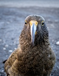 A cheeky kea or alpine parrot has an inquisitive nature
