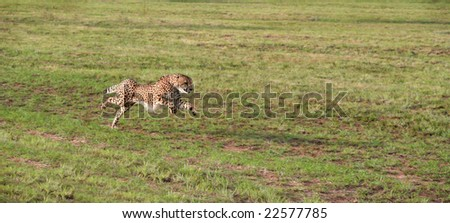 A cheetah accelerating on an open plain