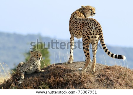A cheetah (Acinonyx jubatus) and cheetah cub on the Maasai Mara National Reserve safari in southwestern Kenya. - stock photo