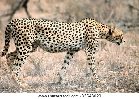 A cheetah (Acinonyx jubatus) on the Masai Mara National Reserve ,Kenya.