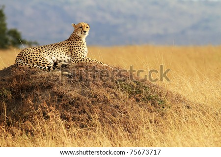 A cheetah (Acinonyx jubatus) on the Masai Mara National Reserve safari in southwestern Kenya.