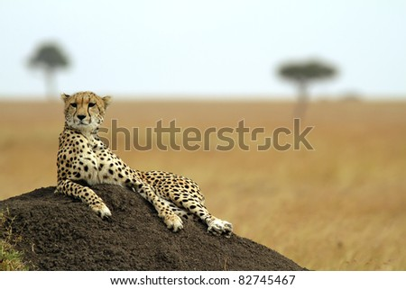 A cheetah (Acinonyx jubatus) on the Masai Mara National Reserve safari in southwestern Kenya. - stock photo