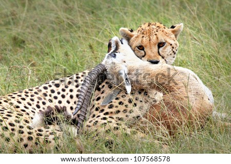 A Cheetah (Acinonyx jubatus) subdues its prey--a Thomson's Gazelle--in the Masai Mara, Kenya, Africa.